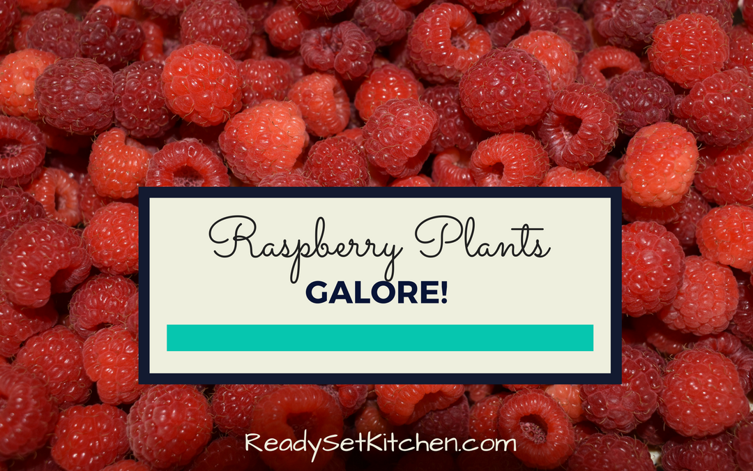 Raspberry Plants Galore!